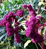 Amaranth-die Blüte