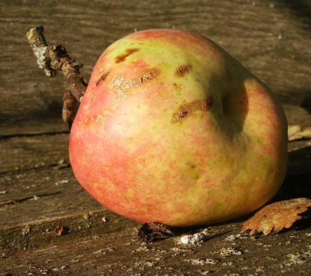 Dieser Apfel hat - geschätzt - 80 Kilokalorien
