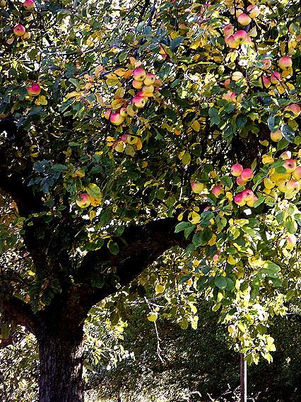 mein schönstes Apfelbaum-Foto...