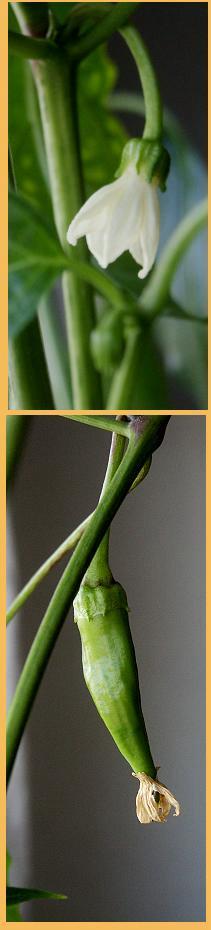 Was scharf werden soll, muss gedeihen: Chilies