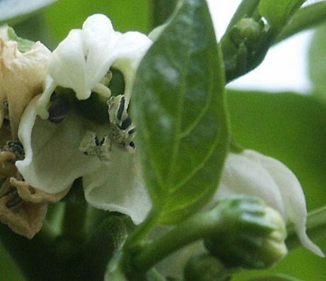 Chili-Blüte: Empfindliche Pflanzen brauchen viel Pflege